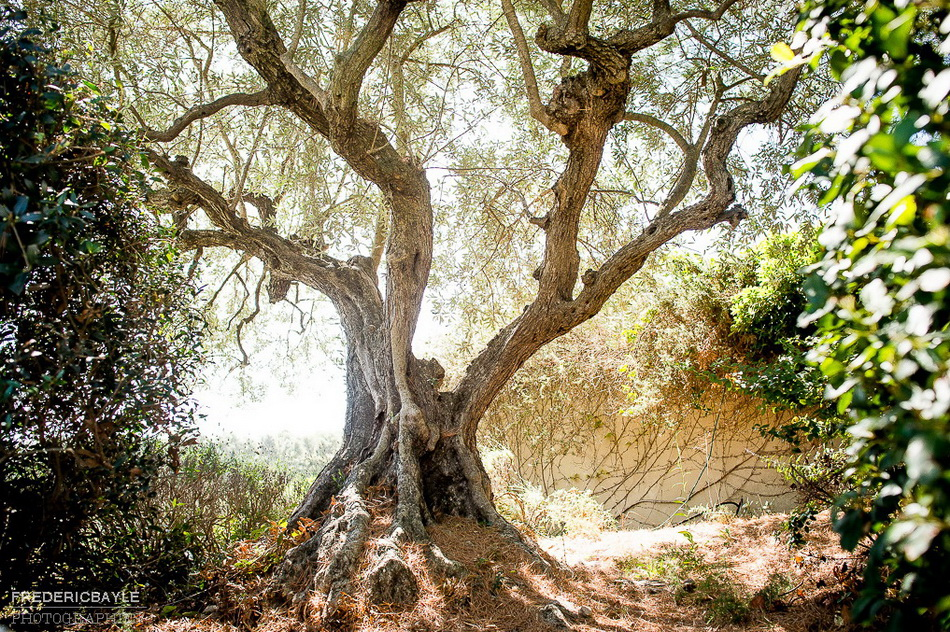 photo d'un olivier dans le domaine de la Tour Vaucros